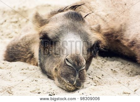 Bactrian Camel Lying And Relaxing In The Sand By Summer