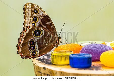 Blue Morpho Butterfly eating