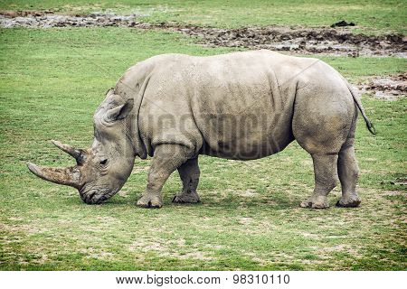 White Rhinoceros Side View