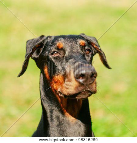 Close Up Black Doberman Dog On Green Grass Background