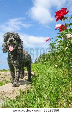 Small Poodle Walks In The Garden