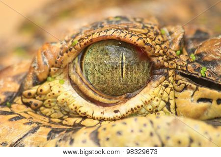 Close Up Of The Crocodile Eye