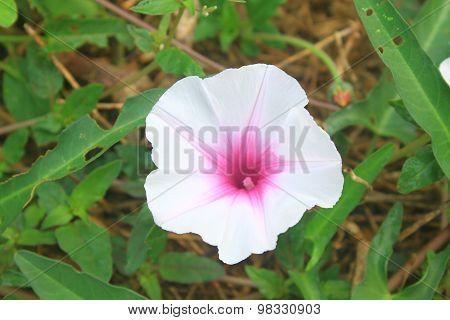 Beautiful Wild Morning Glory Flowers