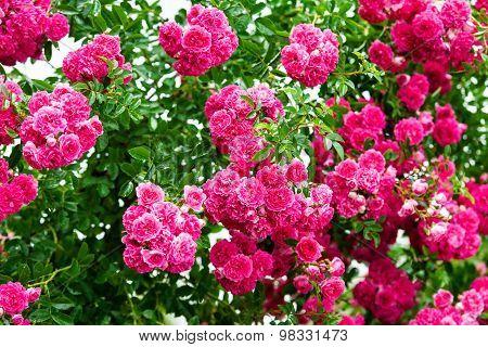 Detail Of Roses Bush