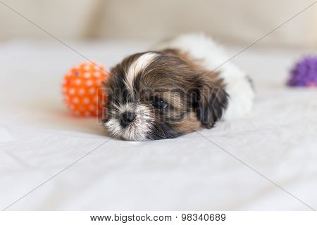 Head Of Colored Shih-tzu Puppy