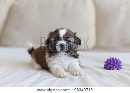 Small Playfull Furry Pup