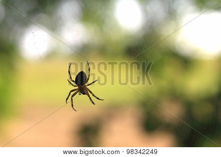 Spider on spider web with green background