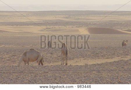 Camels In Saudi Oil Field