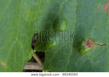 Colomerus Vitis