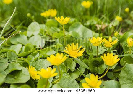 Yellow Spring Flowers - Lesser Celandine (ranunculus Ficaria, Ficaria Grandiflora Robert, Ficaria Ve