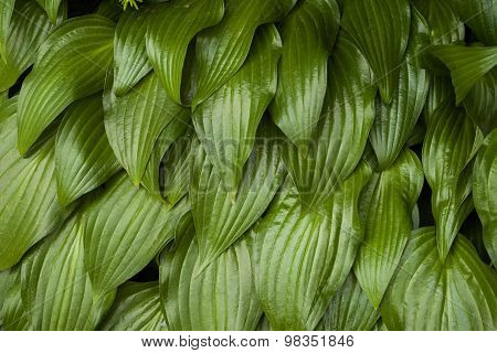 Hosta leaves pattern