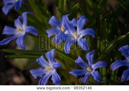 Blue chionodoxa flowers in spring