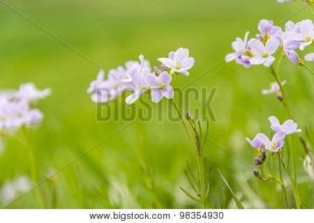 Cardamine Pratensis L. (cuckooflower, Lady's Smock) - Flowers