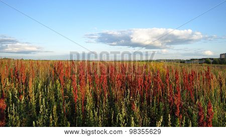 Red Withered Sorrels Field