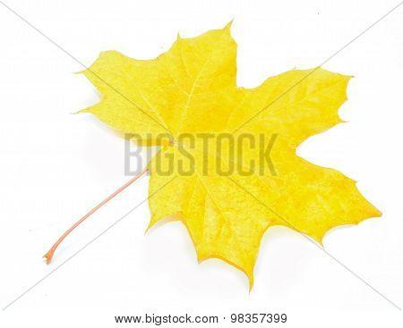 Autumn Acer pseudoplatanus leaf