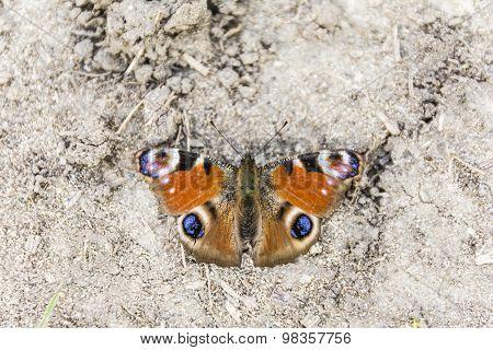 Aglais Io (european Peacock, Peacock Butterfly)