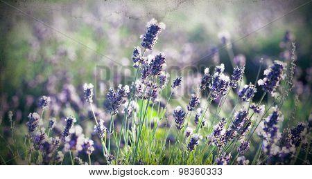 Vintage photo of lavender flowers