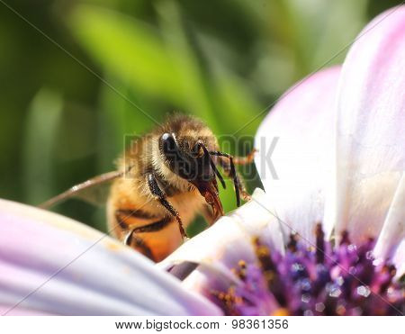 Busy Honeybee Entering Pink Flower