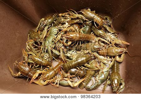 Crayfish In The Kitchen Sink
