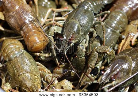 The Crayfish