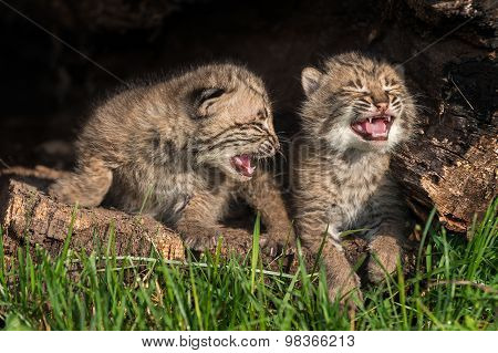 Baby Bobcat Kittens (lynx Rufus) Cry In Hollow Log