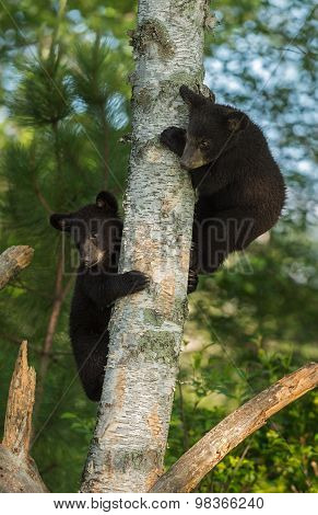 Two Young Black Bears (ursus Americanus) Hide In Tree