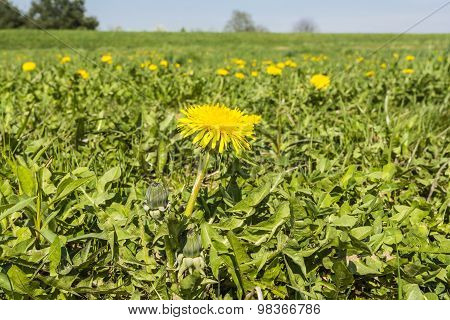 Blooming Flower Taraxacum Officinale (common Dandelion, Dandelion)
