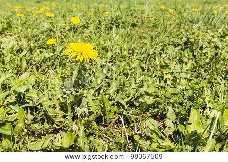 Taraxacum Officinale (common Dandelion, Dandelion) In The Meadow