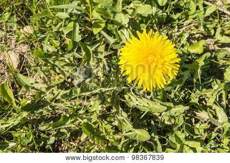 Taraxacum Officinale (common Dandelion, Dandelion) - Yellow Flower