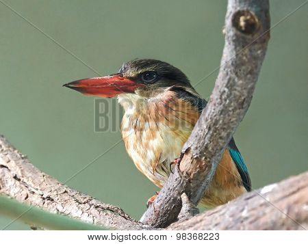 Grey-headed Kingfisher (halcyon Leucocephala)