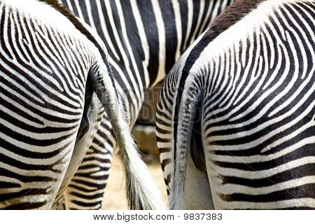 Zebra's From Behind