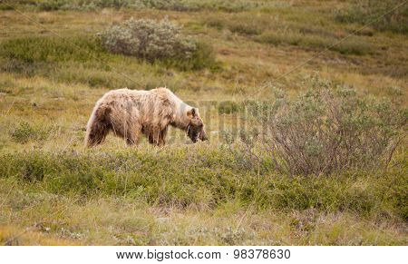 Large Wild Grizzly Bear Foraging Denali National Park Alaska Wildlife