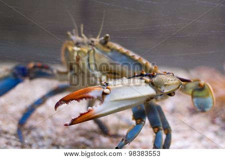 Atlantic Blue Crab Side