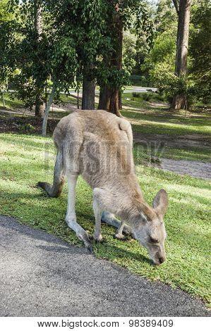 Kangaroo Exploring A Park