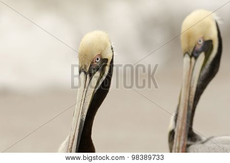 Pelicans Wildlife Closeup