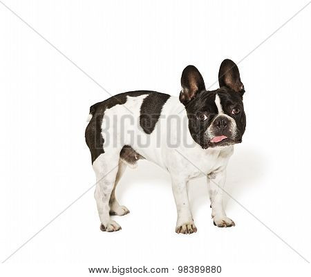 French Bulldog In A Studio