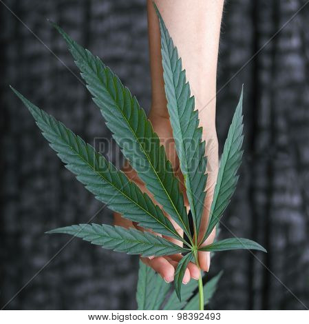 Woman's Hand Picking Hemp
