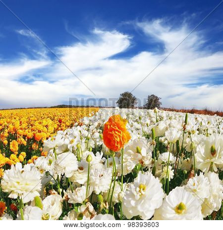 Huge kibbutz field of multi-colored buttercups (Ranunculus asiaticus).  The wonderful spring weather, light  clouds flying across a blue sky. The picture was taken Fisheye lens