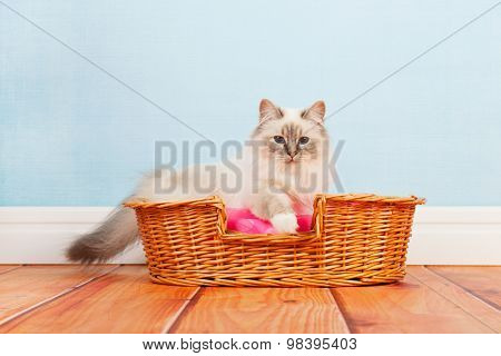 Birman cat in basket at the floor