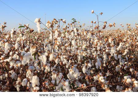 Ripe Cotton On Field