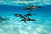 stock photo of dolphins  - Shoal of dolphins in the red sea - JPG