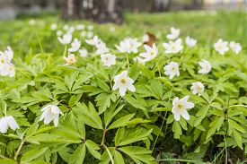 picture of windflowers  - Colonial growth Anemone nemorosa  - JPG