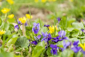 pic of viola  - Spring blossomed flowers of the species Viola odorata  - JPG