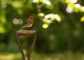 foto of spade  - Robin red breast sitting on garden spade - JPG