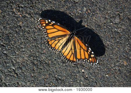 Monarch On Gravel