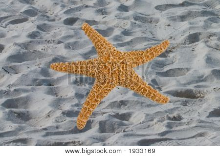 Large Sugar Starfish