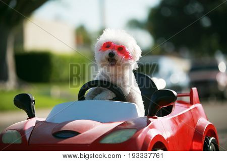 poster of Happy Dog in car. Bichon Frise Dog wears Hot Pink Goggles and enjoys a ride in a pedal car. Fifi the