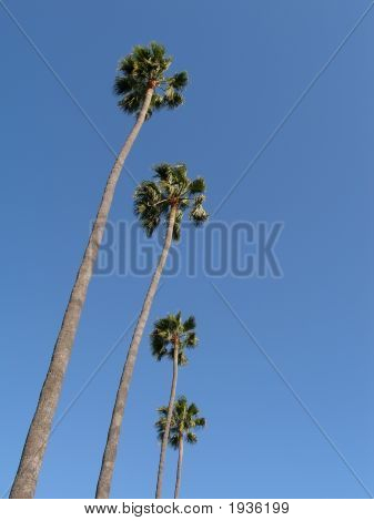 Row Of Plam Trees