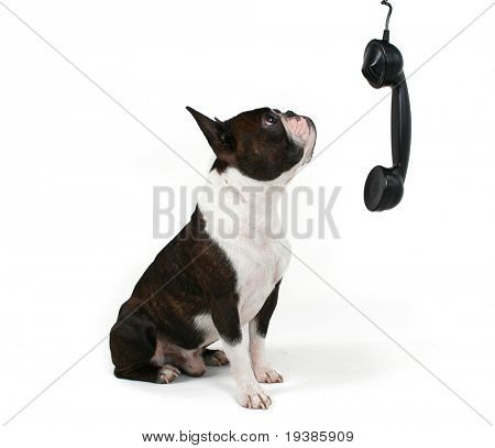 a boston terrier talking on the phone