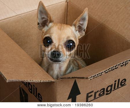 a tiny chihuahua in a box marked fragile